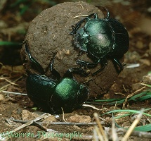Green Scarabs on dung ball