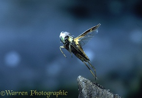 Water Boatman taking off