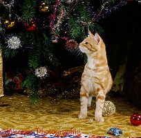 Young ginger cat sniffing Christmas tree decorations