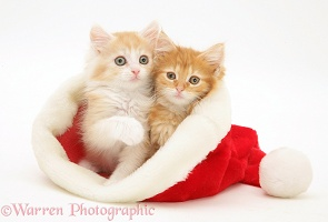 Ginger Maine Coon kittens in a Santa hat