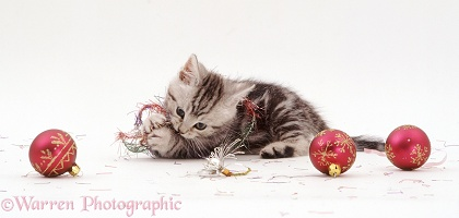 Silver tabby kitten playing with tinsel