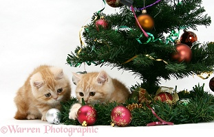 Ginger kittens playing with a Christmas tree