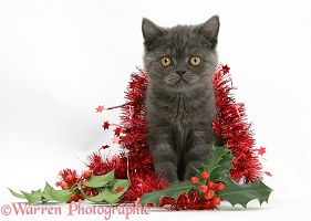 Grey kitten with tinsel and holly berries