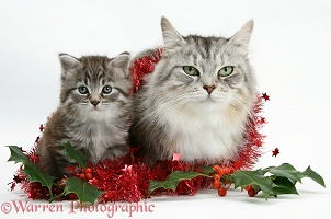 Maine Coon cat and kitten with tinsel and holly berries