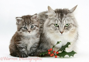 Maine Coon cat and kitten with holly berries