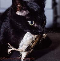 Black cat with captured young house sparrow
