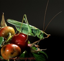 Great Green Grasshopper on Rosa rugosa