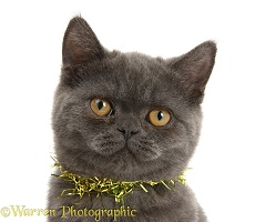 Grey kitten with tinsel around her neck
