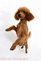 Red Toy Poodle standing on hind legs