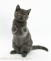 Grey kitten sitting up with paws raised
