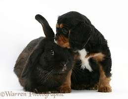 Cavalier King Charles Spaniel pup and black rabbit