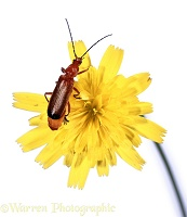 Soldier beetle on hawkweed