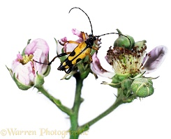 Spotted Longhorn Beetle on bramble