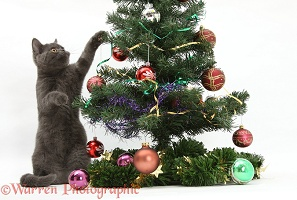 Grey kitten playing with a Christmas tree