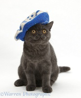 Grey kitten wearing a blue knitted beret hat
