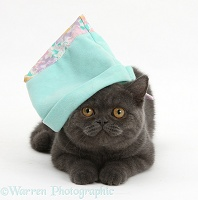 Grey kitten wearing a blue soft hat