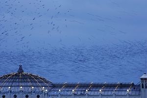 European Starlings flying to roost at dusk