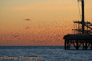 European Starlings flying to roost at sunset