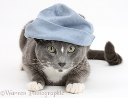 Blue-and-white Burmese-cross cat wearing a hat