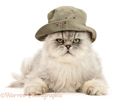 Persian cat wearing a bush hat