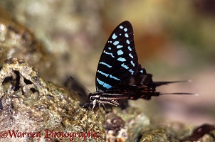 Dancing Swordtail Butterfly