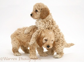 Playful American Cockapoo puppies