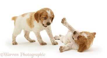 Brittany Spaniel pups, 6 weeks old, playing