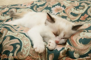 Birman-cross kitten asleep