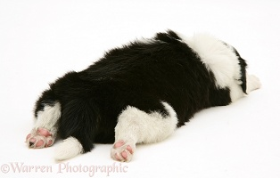 Black-and-white Border Collie pup, 5 weeks old, asleep