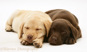 Sleepy Yellow and Chocolate Retriever pups
