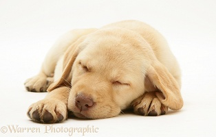 Sleepy Yellow Retriever pup