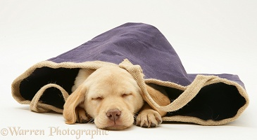 Yellow Retriever pup asleep in a cloth bag