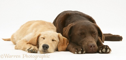 Sleepy Yellow Labradoodle pup and Chocolate Labrador