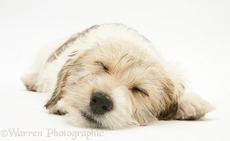 Mongrel puppy, 11 weeks old, asleep