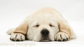 Sleepy yellow Goldador Retriever pup