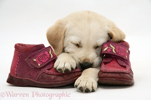 Goldador Retriever pup asleep on a pair of child's shoes