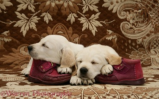 Sleepy Goldador Retriever pups