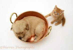 Sleepy Retriever pup in a copper pan and ginger kitten