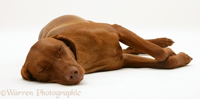 Hungarian Vizsla bitch asleep