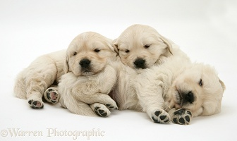 Three Sleepy Golden Retriever pups