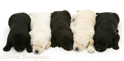 Sleepy black and yellow Goldador Retriever pups