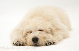 Sleepy Cream Labradoodle pup
