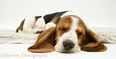 Basset pup sleeping