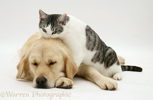 Cat and sleepy Golden Retriever