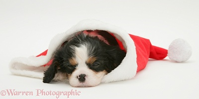 King Charles puppy sleeping in a Santa hat