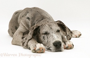 Sleepy Great Dane pup