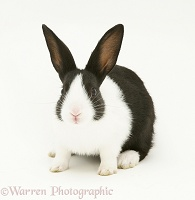 Black-and-white Dutch rabbit
