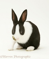 Black-and-white rabbit