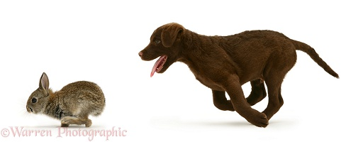 Chesapeake Bay Retriever pup chasing a rabbit