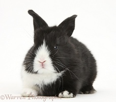 Baby black-and-white Dutch rabbit